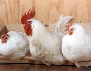 20070724-chickens02